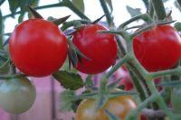 paradajzi